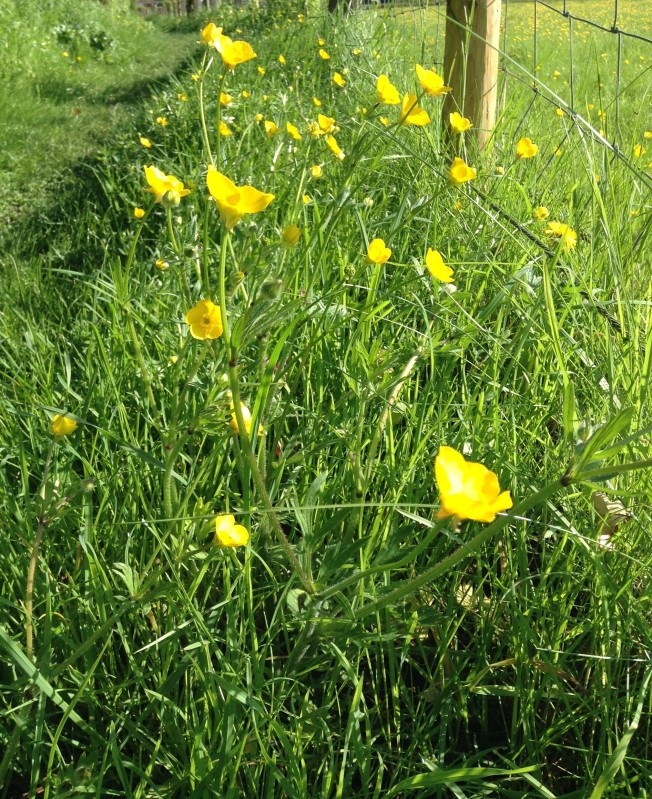 Buttercups - is there anything more glorious?